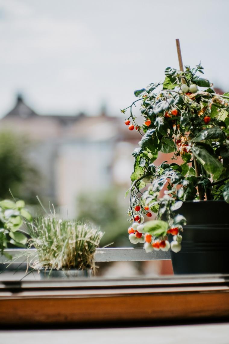 Gardening%20tomatoes